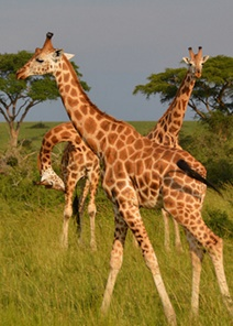 Wildlife Safaris Uganda